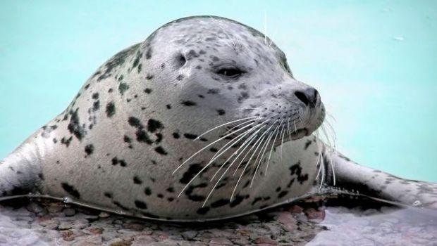 Aseguran que las focas dejarán de ser un animal anfibio