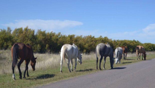 Secuestro de animales sueltos en la ruta 1