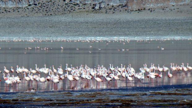 En la Puna, hay más de 19 mil flamencos de distintas especies