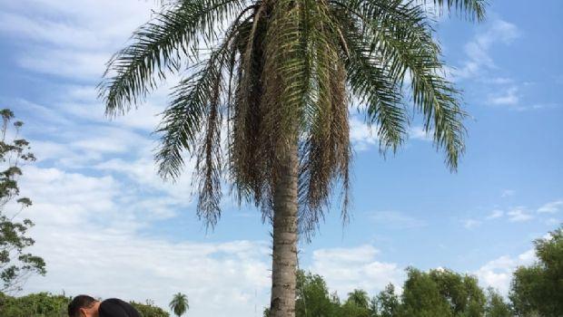 Una palmera nativa es 10 veces más productiva que la soja