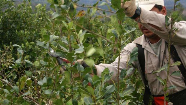 Convocan a venezolanos para levantar la cosecha de yerba